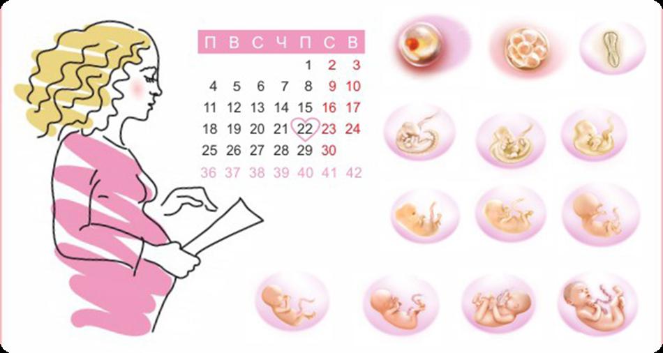 Рассчитать эмбриональный срок беременности